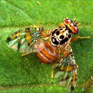 Mediterranean-Fruit-Fly