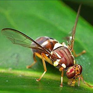 Queensland-Fruit-Fly